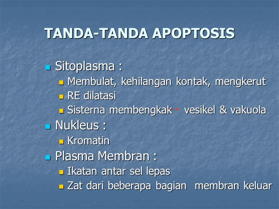 TANDA-TANDA APOPTOSIS Sitoplasma : Sitoplasma : Membulat, kehilangan kontak, mengkerut Membulat, kehilangan kontak, mengkerut RE dilatasi RE dilatasi Sisterna membengkakvesikel & vakuola Sisterna membengkakvesikel & vakuola Nukleus : Nukleus : Kromatin Kromatin Plasma Membran : Plasma Membran : Ikatan antar sel lepas Ikatan antar sel lepas Zat dari beberapa bagian membran keluar Zat dari beberapa bagian membran keluar