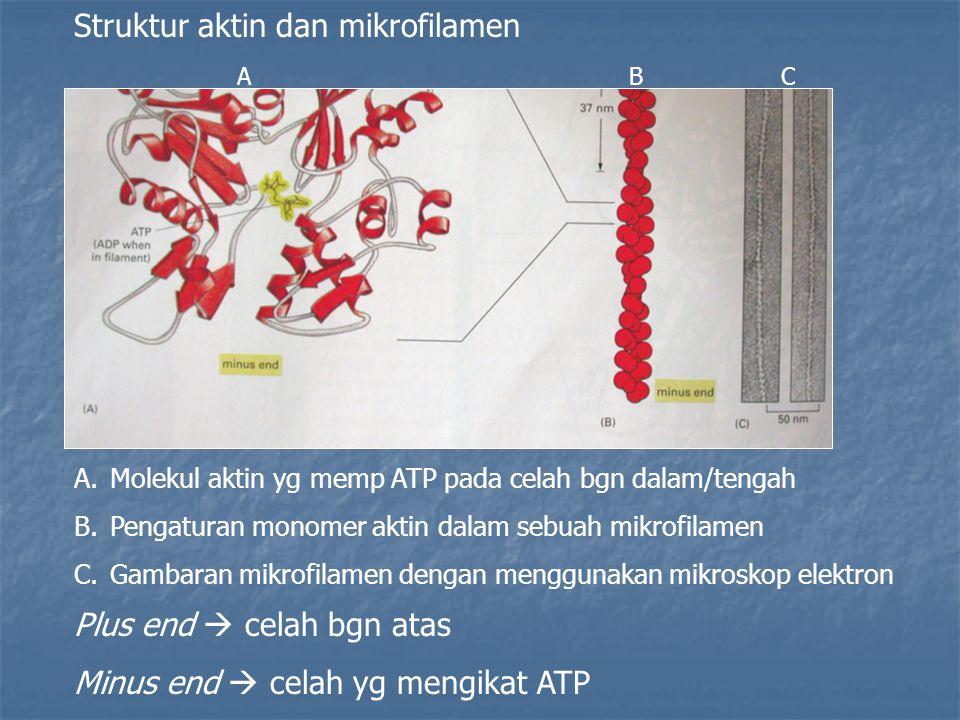 Struktur aktin dan mikrofilamen A.Molekul aktin yg memp ATP pada celah bgn dalam/tengah B.Pengaturan monomer aktin dalam sebuah mikrofilamen C.Gambaran mikrofilamen dengan menggunakan mikroskop elektron Plus end  celah bgn atas Minus end  celah yg mengikat ATP ABC