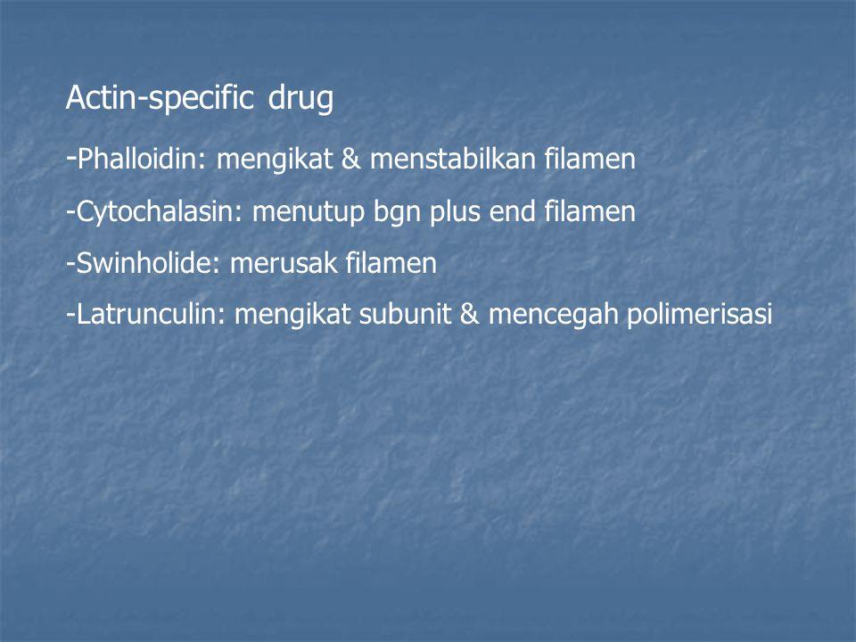 Actin-specific drug - Phalloidin: mengikat & menstabilkan filamen -Cytochalasin: menutup bgn plus end filamen -Swinholide: merusak filamen -Latrunculi