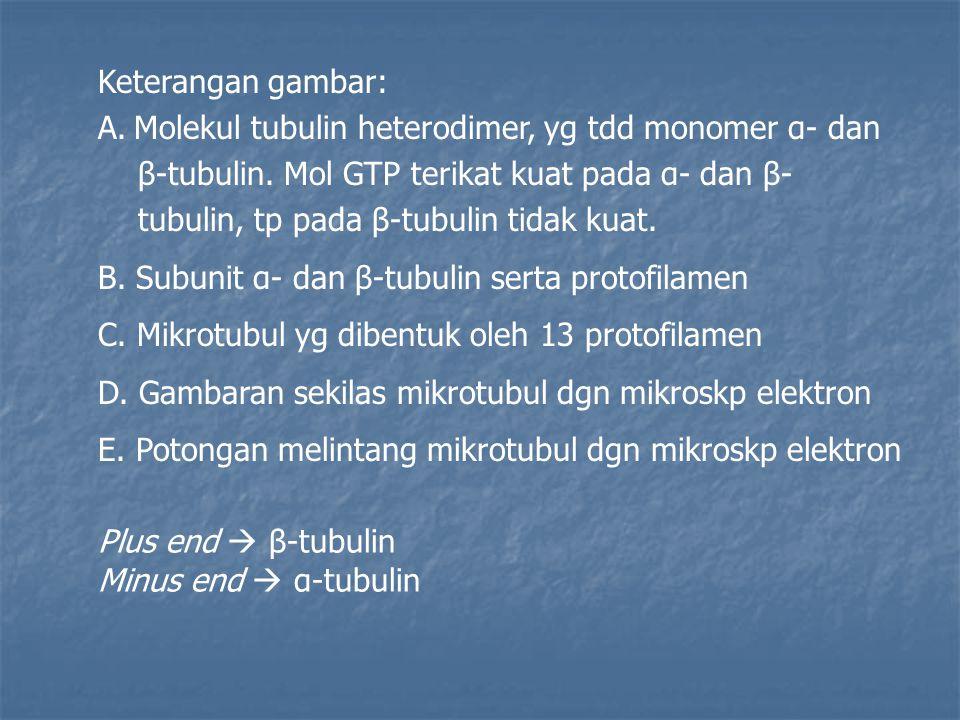 Keterangan gambar: A.Molekul tubulin heterodimer, yg tdd monomer α- dan β-tubulin.