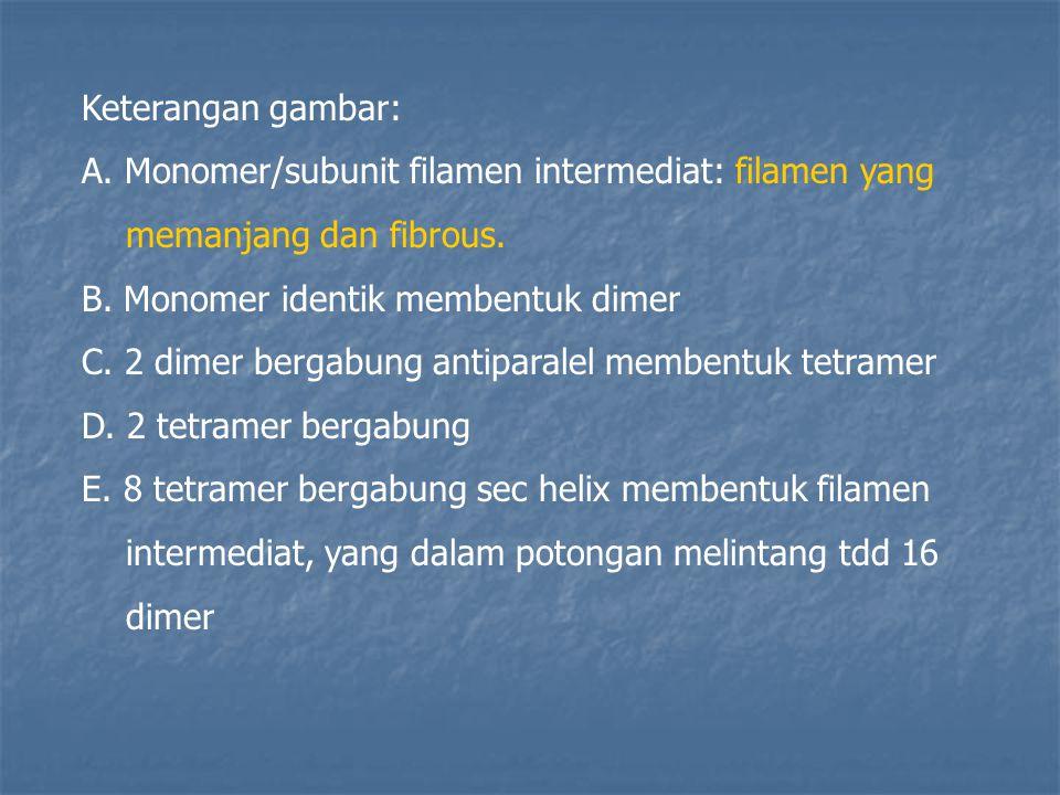 Keterangan gambar: A. Monomer/subunit filamen intermediat: filamen yang memanjang dan fibrous. B. Monomer identik membentuk dimer C. 2 dimer bergabung