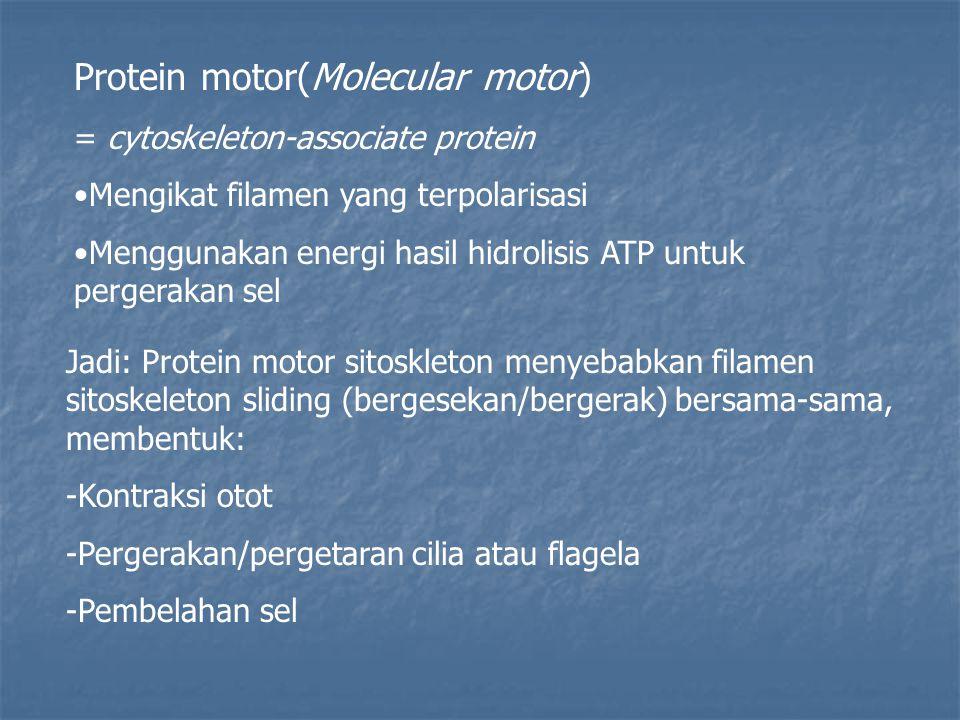 Protein motor(Molecular motor) = cytoskeleton-associate protein Mengikat filamen yang terpolarisasi Menggunakan energi hasil hidrolisis ATP untuk pergerakan sel Jadi: Protein motor sitoskleton menyebabkan filamen sitoskeleton sliding (bergesekan/bergerak) bersama-sama, membentuk: -Kontraksi otot -Pergerakan/pergetaran cilia atau flagela -Pembelahan sel