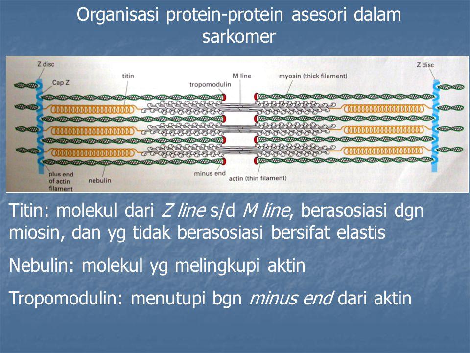 Organisasi protein-protein asesori dalam sarkomer Titin: molekul dari Z line s/d M line, berasosiasi dgn miosin, dan yg tidak berasosiasi bersifat elastis Nebulin: molekul yg melingkupi aktin Tropomodulin: menutupi bgn minus end dari aktin