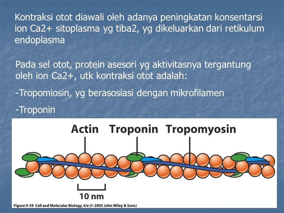 Kontraksi otot diawali oleh adanya peningkatan konsentarsi ion Ca2+ sitoplasma yg tiba2, yg dikeluarkan dari retikulum endoplasma Pada sel otot, prote