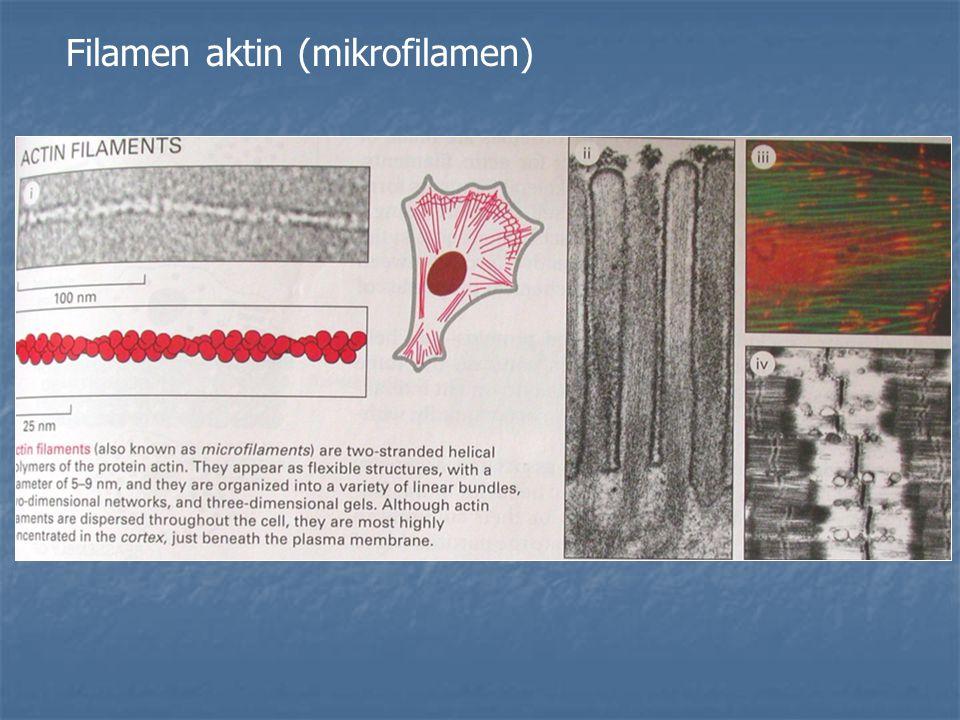 Filamen aktin (mikrofilamen)