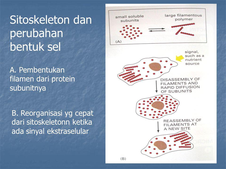 Sitoskeleton dan perubahan bentuk sel A. Pembentukan filamen dari protein subunitnya B. Reorganisasi yg cepat dari sitoskeletonn ketika ada sinyal eks