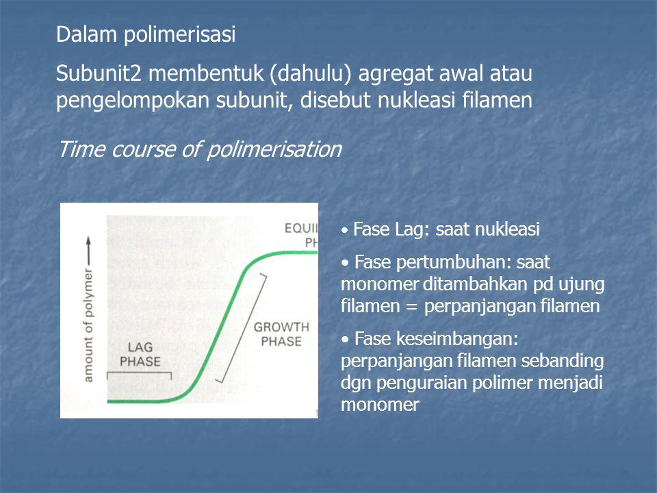 Dalam polimerisasi Subunit2 membentuk (dahulu) agregat awal atau pengelompokan subunit, disebut nukleasi filamen Time course of polimerisation Fase Lag: saat nukleasi Fase pertumbuhan: saat monomer ditambahkan pd ujung filamen = perpanjangan filamen Fase keseimbangan: perpanjangan filamen sebanding dgn penguraian polimer menjadi monomer