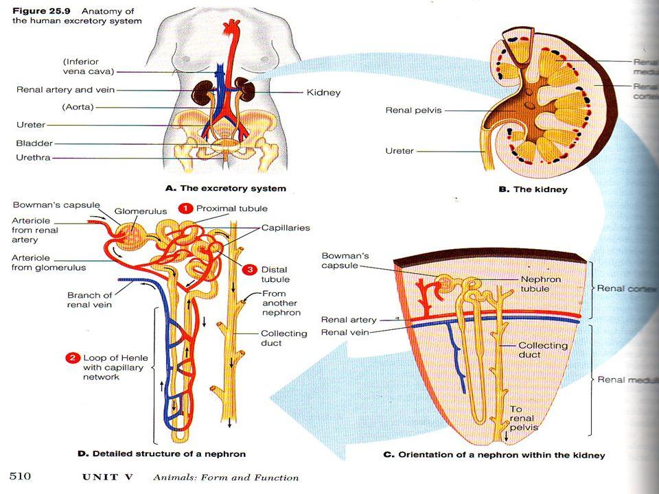 SIRKULASI DARAH GINJAL  *.Tiap ginjal menerima darah langsung dari cabang Aorta Abdominalis  *.