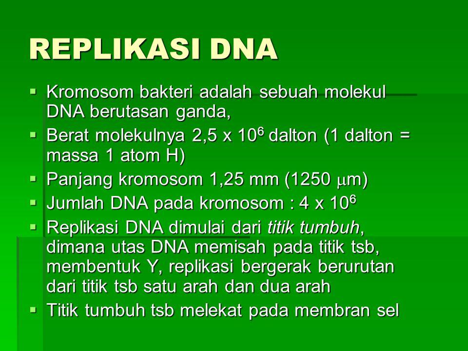 REPLIKASI DNA  Kromosom bakteri adalah sebuah molekul DNA berutasan ganda,  Berat molekulnya 2,5 x 10 6 dalton (1 dalton = massa 1 atom H)  Panjang