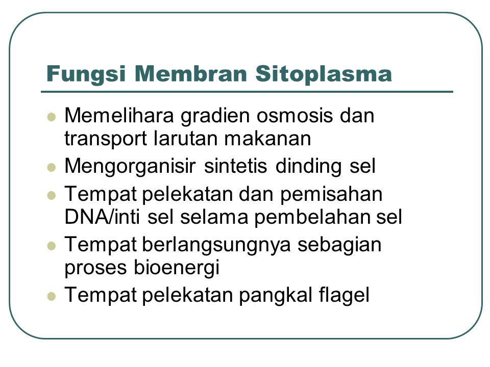 Fungsi Membran Sitoplasma Memelihara gradien osmosis dan transport larutan makanan Mengorganisir sintetis dinding sel Tempat pelekatan dan pemisahan D