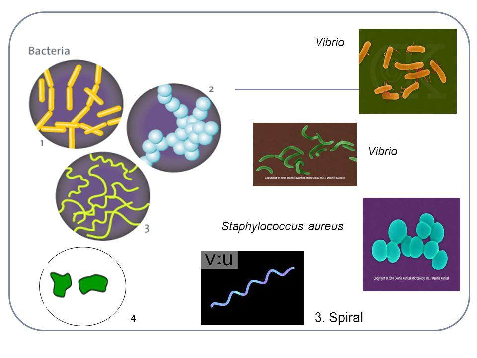 4 Vibrio 3. Spiral Vibrio Staphylococcus aureus