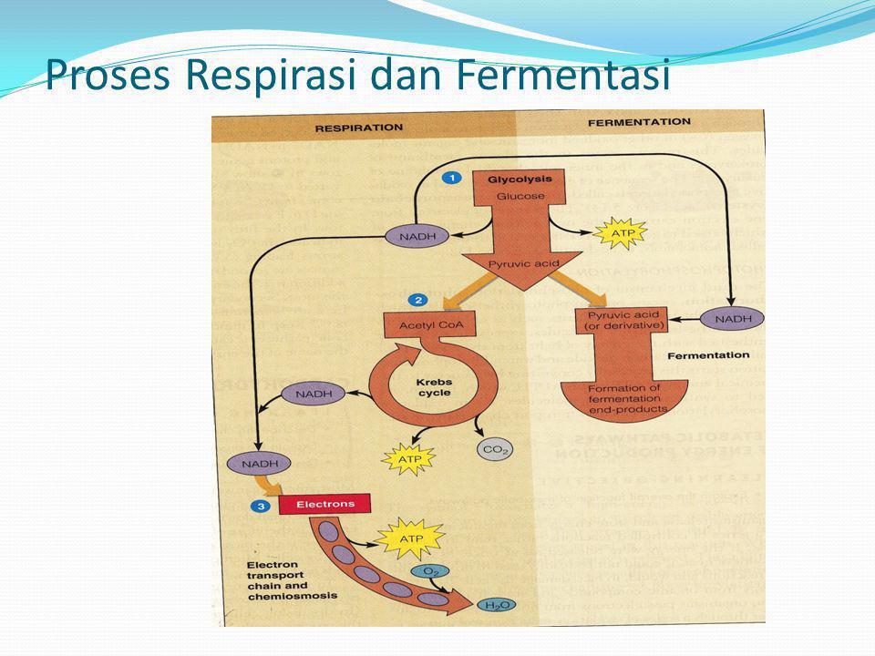 Proses Respirasi dan Fermentasi