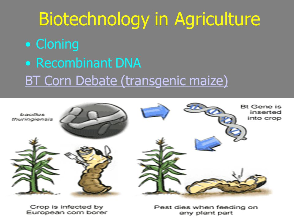 Biotechnology in Agriculture Cloning Recombinant DNA BT Corn Debate (transgenic maize)‏