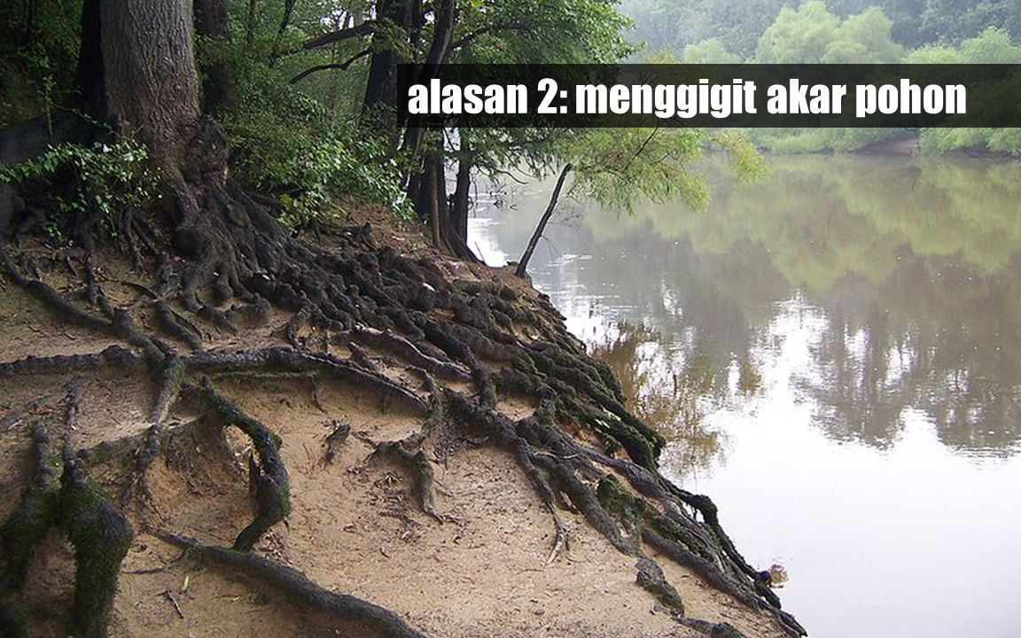 alasan 2: menggigit akar pohon