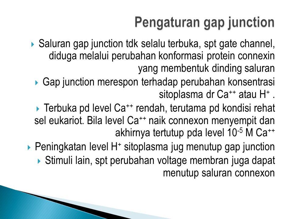  Saluran gap junction tdk selalu terbuka, spt gate channel, diduga melalui perubahan konformasi protein connexin yang membentuk dinding saluran  Gap