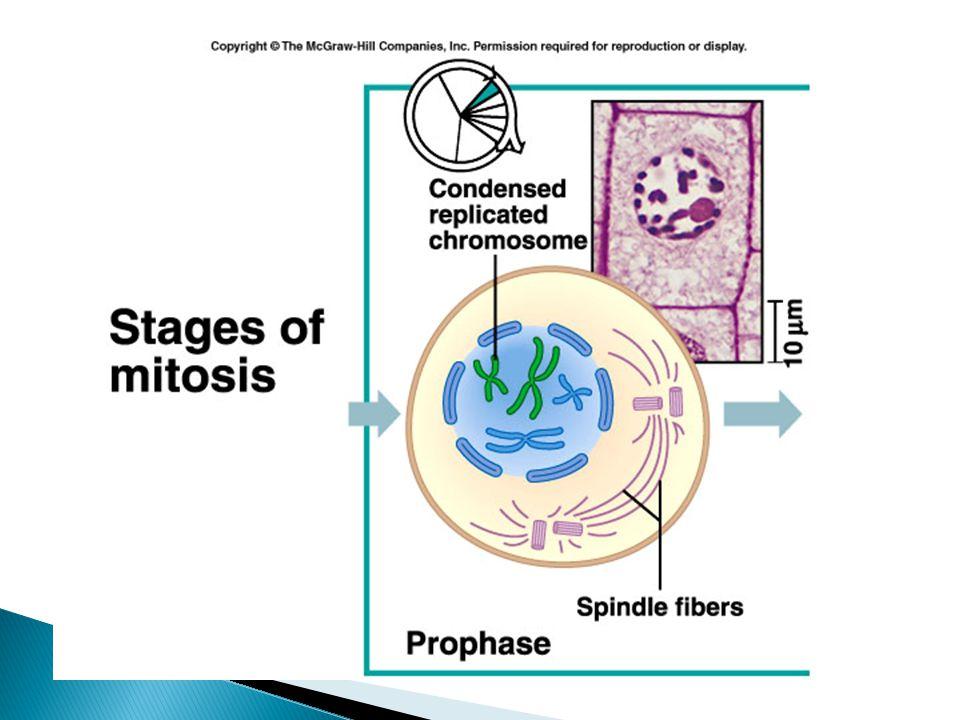 Meiosis IIMitosis Prophase IIProphase kromosom tidak berpasanganKromosom tidak berpasangan Metaphase IIMetaphase Haploid # Kromosom berada Diploid # kromosom berada pada bidang pada ekuator bidang metaphase Anaphase IIAnaphase Sister chromatids terpisah, menjadi Khromosom anak Telophase ITelophase 4 sel anak yang haploid dua sel anak yang diploid