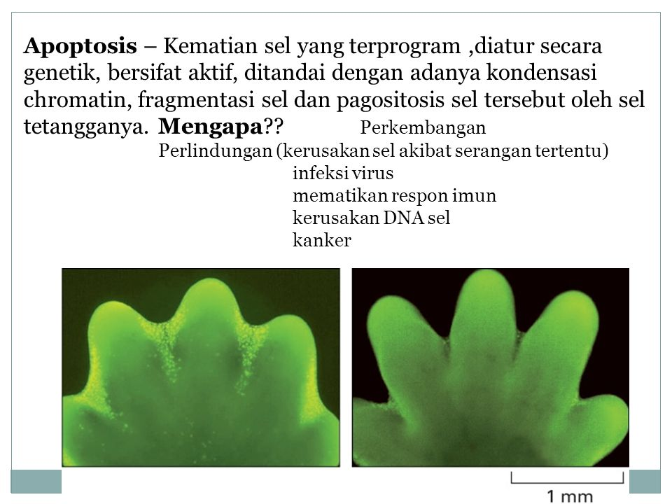 Apoptosis – Kematian sel yang terprogram,diatur secara genetik, bersifat aktif, ditandai dengan adanya kondensasi chromatin, fragmentasi sel dan pagos