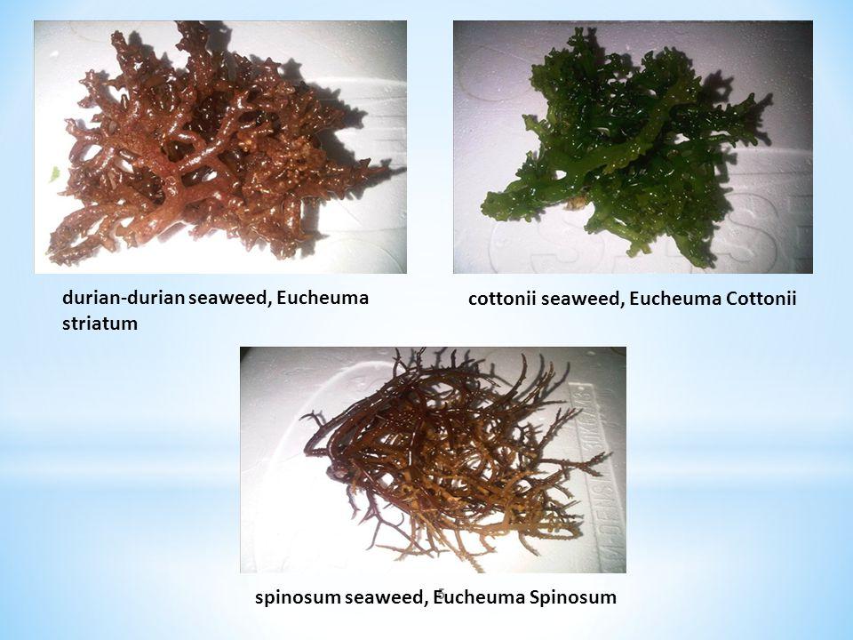 5 durian-durian seaweed, Eucheuma striatum cottonii seaweed, Eucheuma Cottonii spinosum seaweed, Eucheuma Spinosum