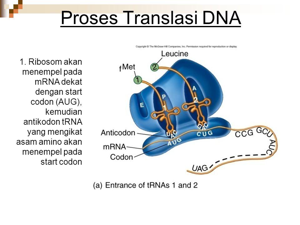 Proses Translasi DNA 1. Ribosom akan menempel pada mRNA dekat dengan start codon (AUG), kemudian antikodon tRNA yang mengikat asam amino akan menempel