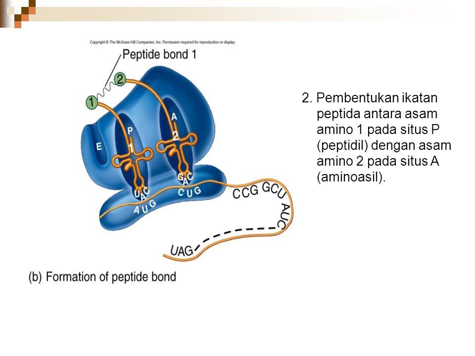 2. Pembentukan ikatan peptida antara asam amino 1 pada situs P (peptidil) dengan asam amino 2 pada situs A (aminoasil).