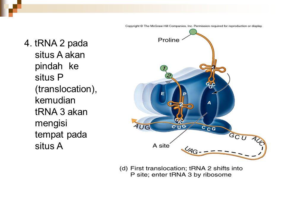 4. tRNA 2 pada situs A akan pindah ke situs P (translocation), kemudian tRNA 3 akan mengisi tempat pada situs A