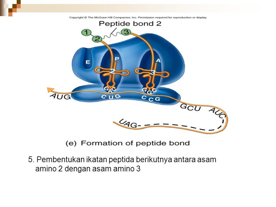 5. Pembentukan ikatan peptida berikutnya antara asam amino 2 dengan asam amino 3