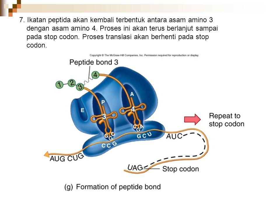 7. Ikatan peptida akan kembali terbentuk antara asam amino 3 dengan asam amino 4. Proses ini akan terus berlanjut sampai pada stop codon. Proses trans
