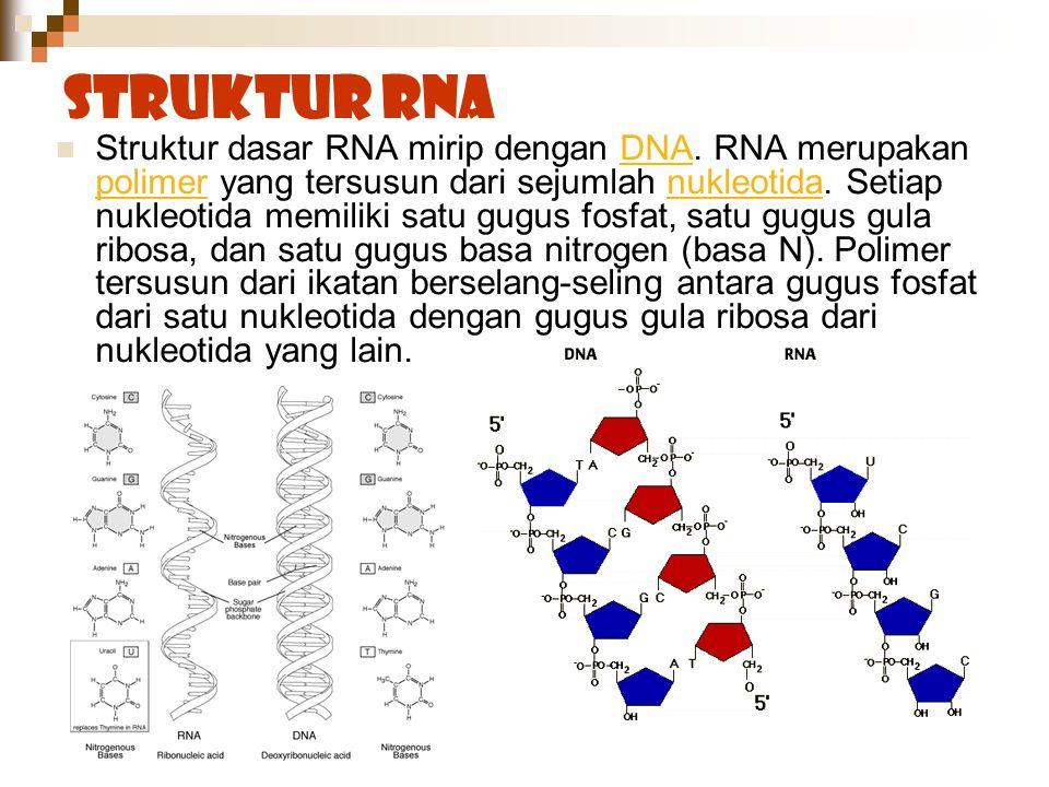 Struktur RNA Struktur dasar RNA mirip dengan DNA. RNA merupakan polimer yang tersusun dari sejumlah nukleotida. Setiap nukleotida memiliki satu gugus