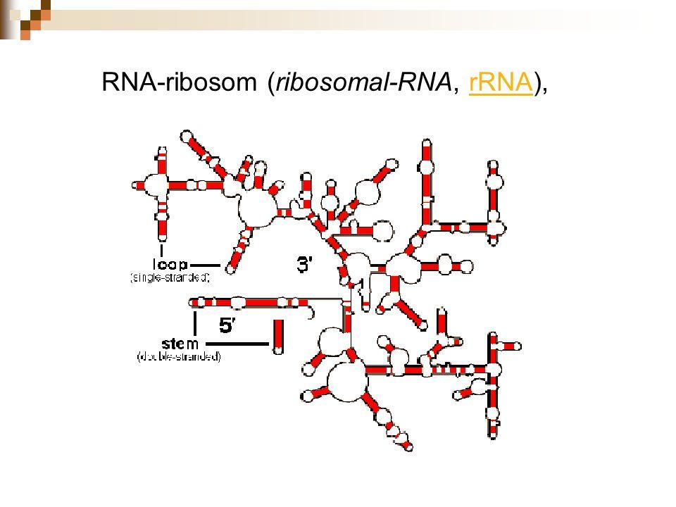 RNA-ribosom (ribosomal-RNA, rRNA),rRNA