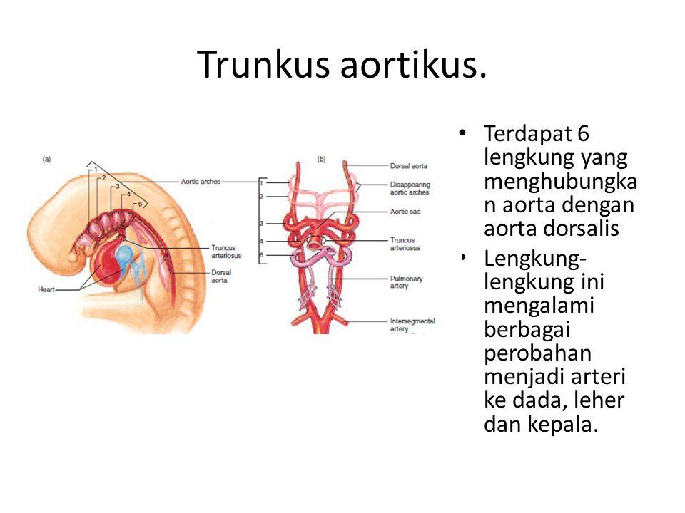 Trunkus aortikus. Terdapat 6 lengkung yang menghubungka n aorta dengan aorta dorsalis Lengkung- lengkung ini mengalami berbagai perobahan menjadi arte