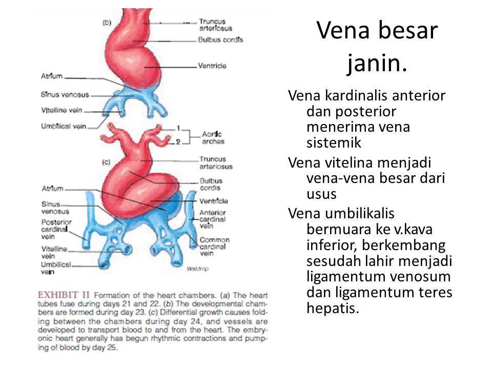 Vena besar janin. Vena kardinalis anterior dan posterior menerima vena sistemik Vena vitelina menjadi vena-vena besar dari usus Vena umbilikalis bermu