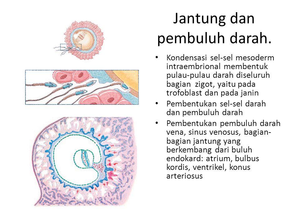 Jantung dan pembuluh darah. Kondensasi sel-sel mesoderm intraembrional membentuk pulau-pulau darah diseluruh bagian zigot, yaitu pada trofoblast dan p