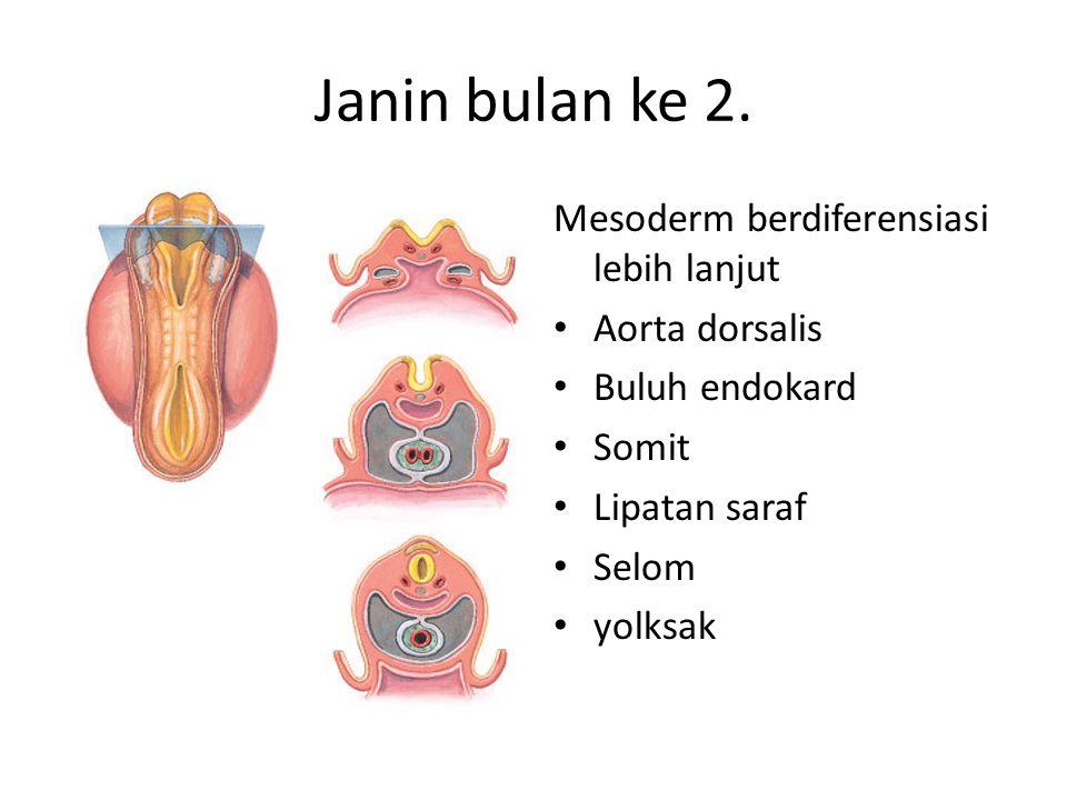 Janin bulan ke 2. Mesoderm berdiferensiasi lebih lanjut Aorta dorsalis Buluh endokard Somit Lipatan saraf Selom yolksak