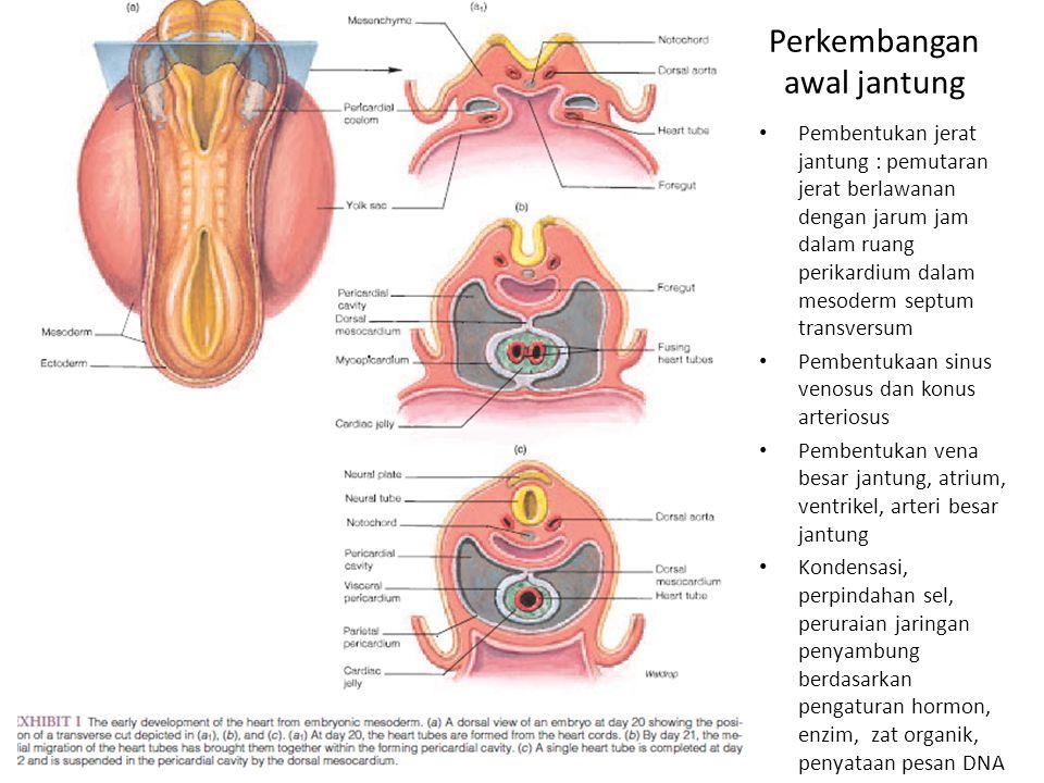 Perkembangan awal jantung Pembentukan jerat jantung : pemutaran jerat berlawanan dengan jarum jam dalam ruang perikardium dalam mesoderm septum transv