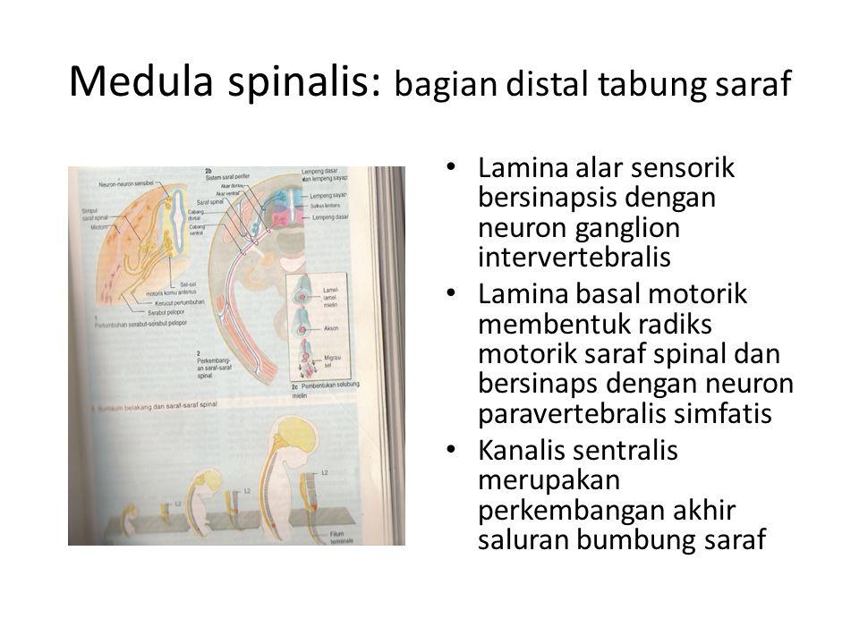 Medula spinalis: bagian distal tabung saraf Lamina alar sensorik bersinapsis dengan neuron ganglion intervertebralis Lamina basal motorik membentuk ra