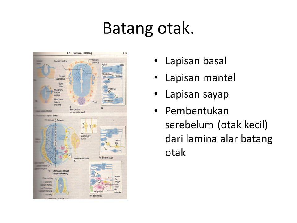 Batang otak. Lapisan basal Lapisan mantel Lapisan sayap Pembentukan serebelum (otak kecil) dari lamina alar batang otak