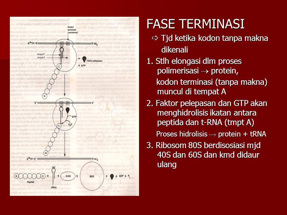 FASE TERMINASI  Tjd ketika kodon tanpa makna  Tjd ketika kodon tanpa makna dikenali dikenali 1. Stlh elongasi dlm proses polimerisasi  protein, kod