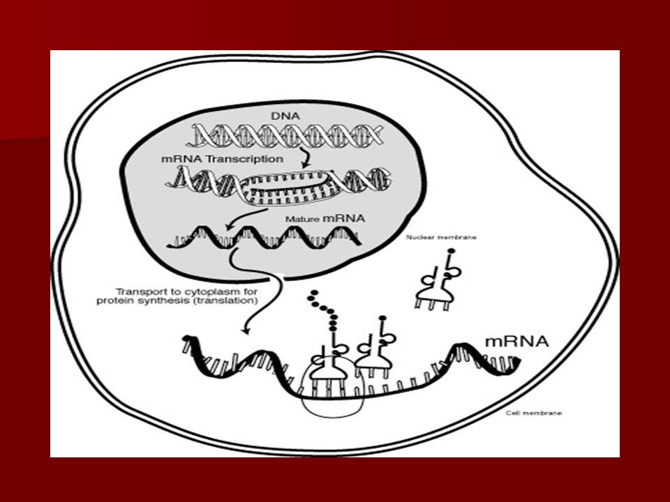 KODE GENETIK  Kelompok nukleotida yang mengkode asam amino  Kelompok nukleotida yang mengkode asam amino disebut dengan Kodon.