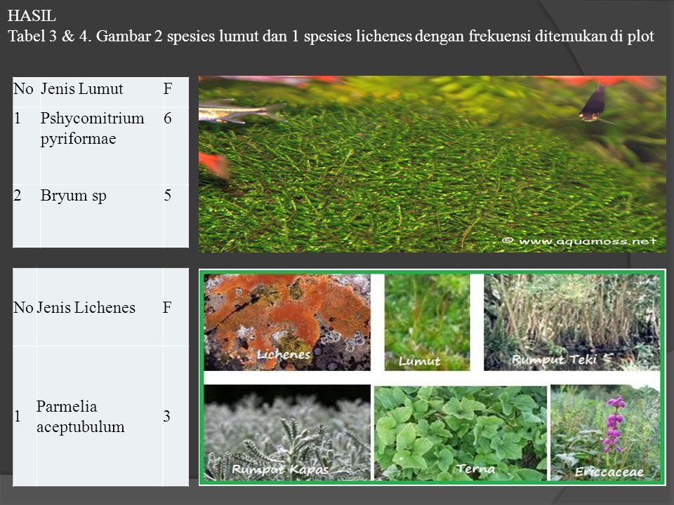 NoJenis LumutF 1Pshycomitrium pyriformae 6 2Bryum sp5 NoJenis LichenesF 1 Parmelia aceptubulum 3 HASIL Tabel 3 & 4. Gambar 2 spesies lumut dan 1 spesi