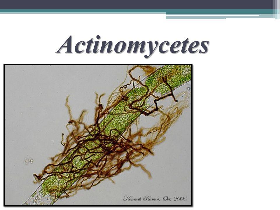 2) Suku Actinomycetaceae membentuk miselium, spora terbentuk dalam fragmen-fragmen miselium.