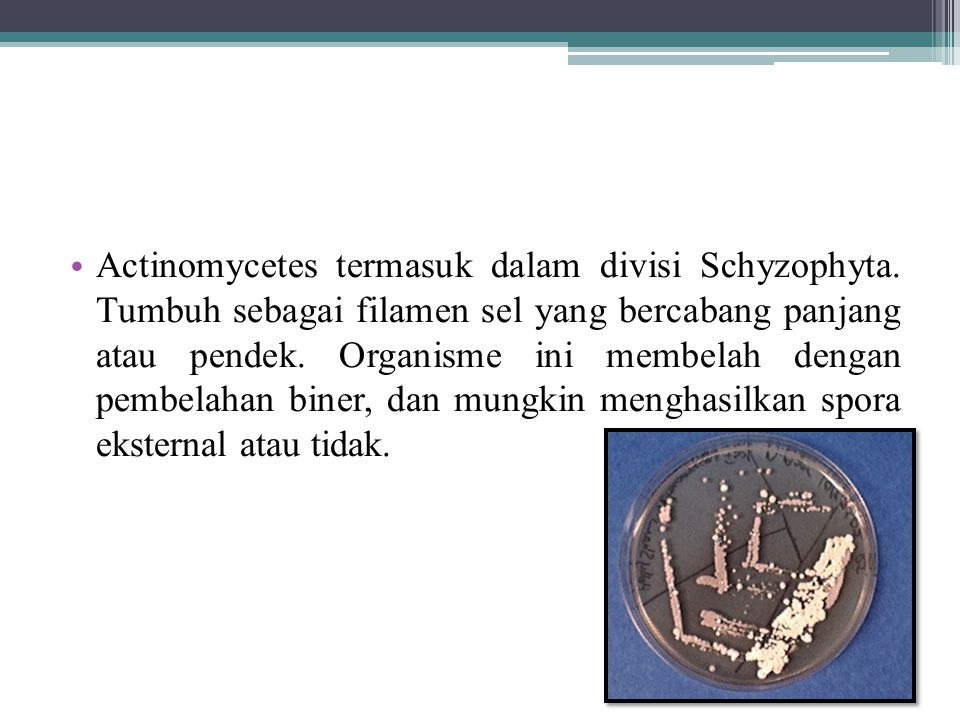 Actinomycetes termasuk dalam divisi Schyzophyta. Tumbuh sebagai filamen sel yang bercabang panjang atau pendek. Organisme ini membelah dengan pembelah