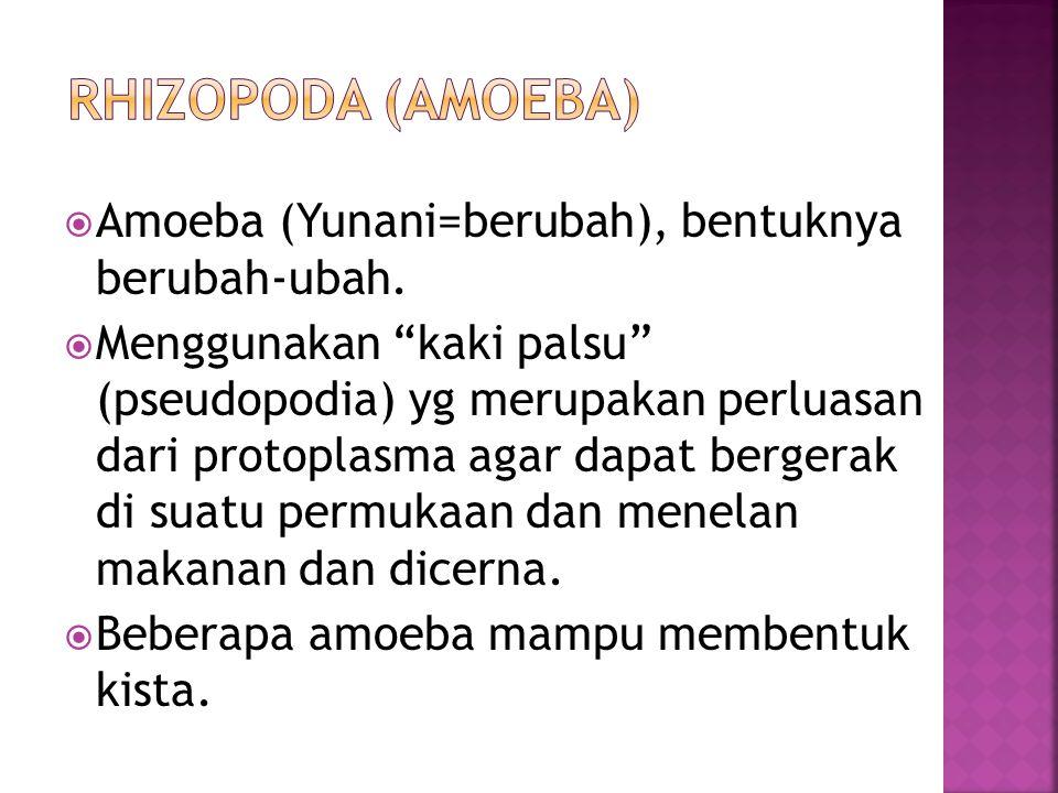  Amoeba (Yunani=berubah), bentuknya berubah-ubah.