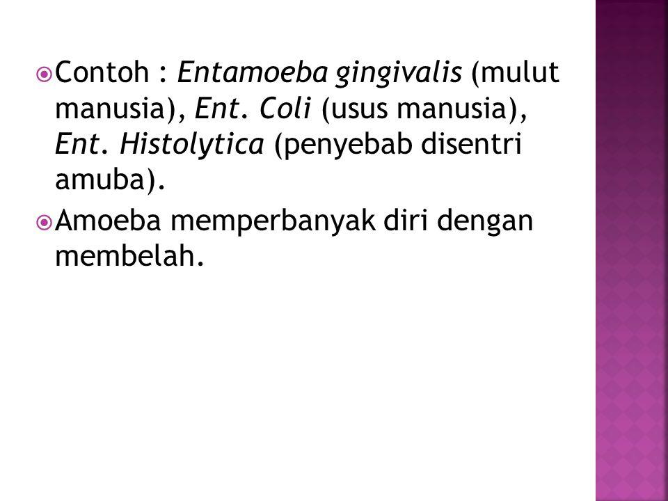  Contoh : Entamoeba gingivalis (mulut manusia), Ent.