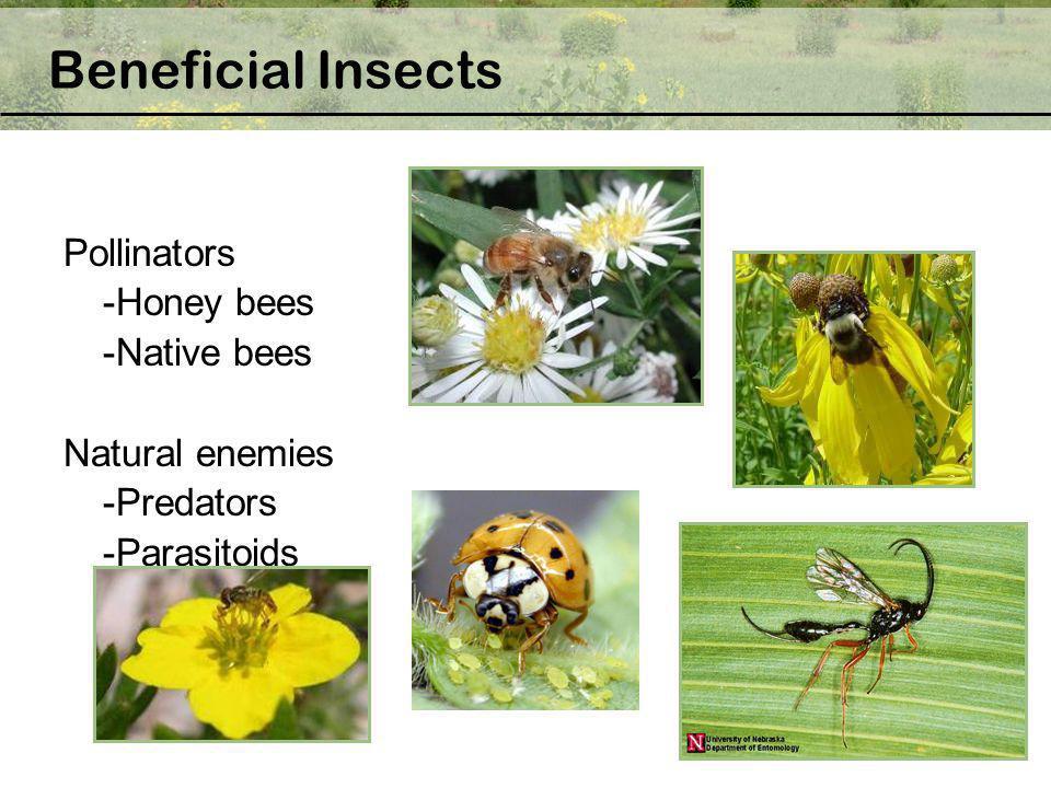Pollinators -Honey bees -Native bees Natural enemies -Predators -Parasitoids Beneficial Insects