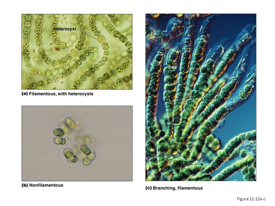 Cyanobacteria Figure 11.12a-c