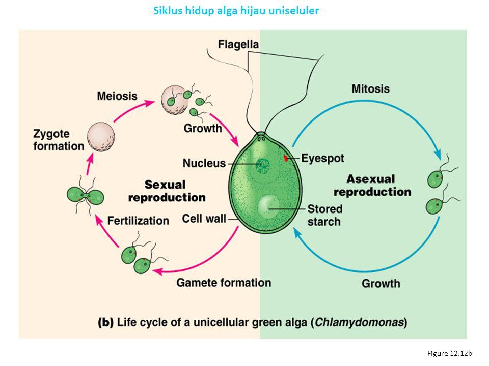 Figure 12.12b Siklus hidup alga hijau uniseluler