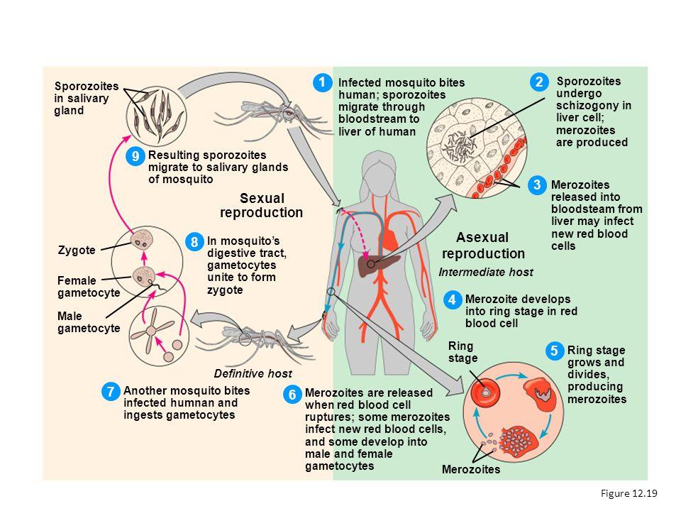 Plasmodium Figure 12.19 Infected mosquito bites human; sporozoites migrate through bloodstream to liver of human Sporozoites undergo schizogony in liv