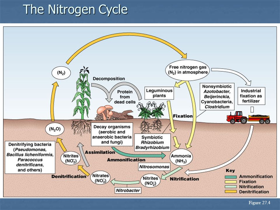 The Nitrogen Cycle Figure 27.4