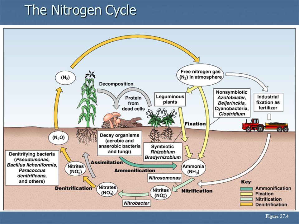 The Nitrogen Cycle Figure 27.4