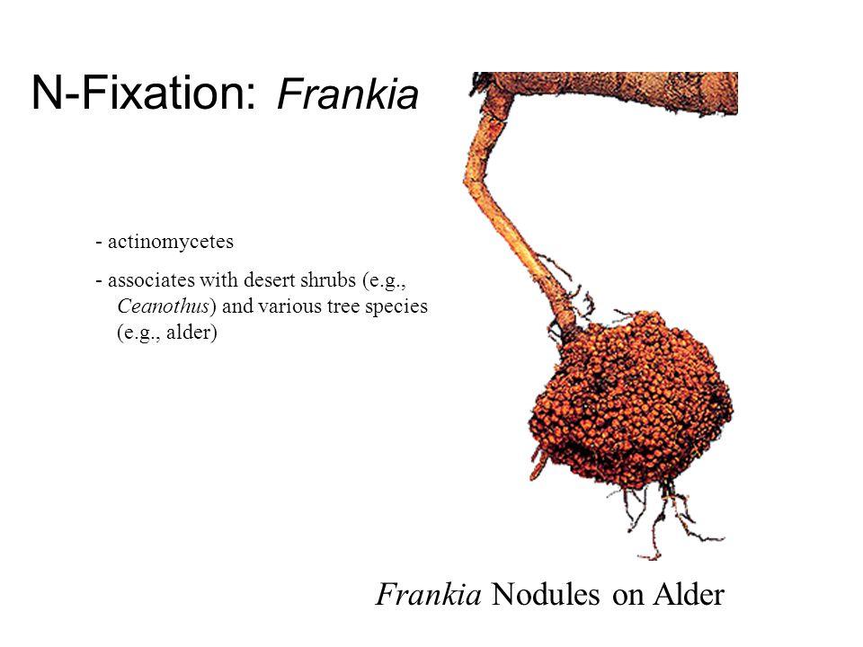 N-Fixation: Frankia Frankia Nodules on Alder - actinomycetes - associates with desert shrubs (e.g., Ceanothus) and various tree species (e.g., alder)